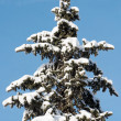 Winter fir — Stock Photo #8003431