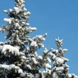 Winter fir — Stock Photo #8003445