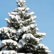 Winter fir - Stock Photo