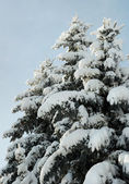 Winter firs — Stock Photo