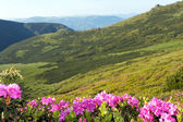 Berg rhododendron blommande — Stockfoto