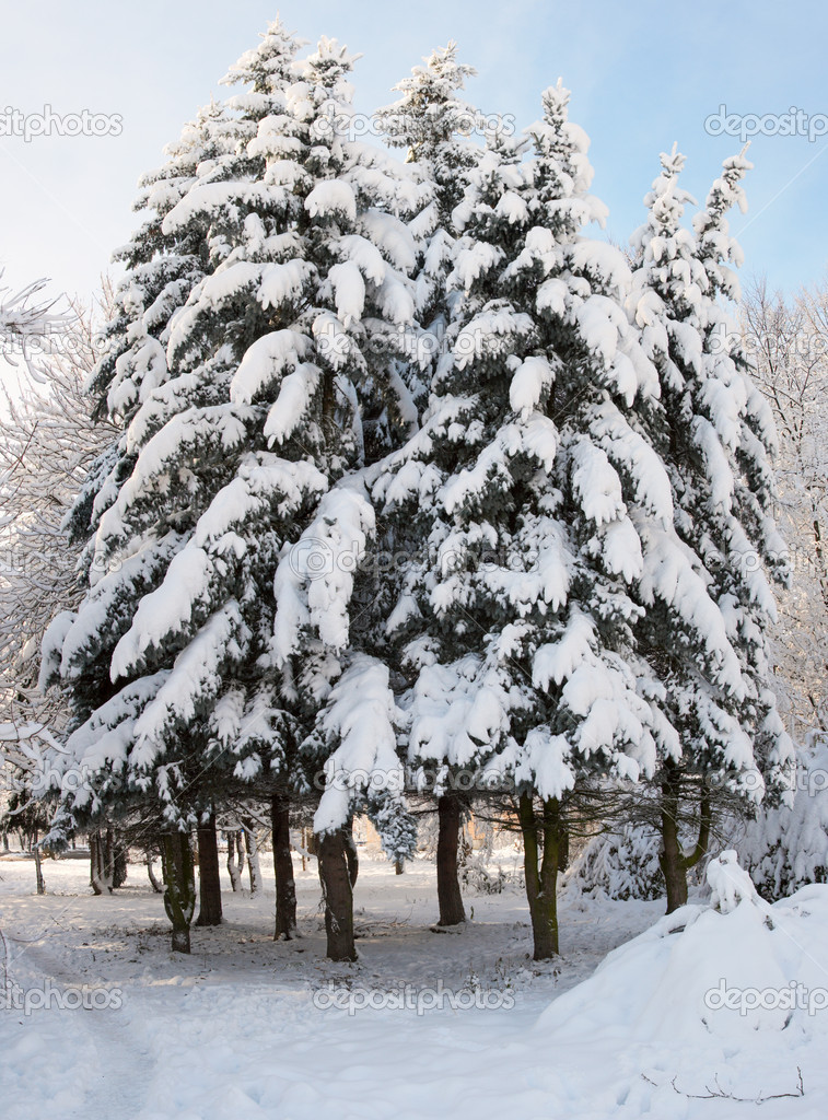 Winter snow covered fir trees group in city park  Stock Photo #8002052