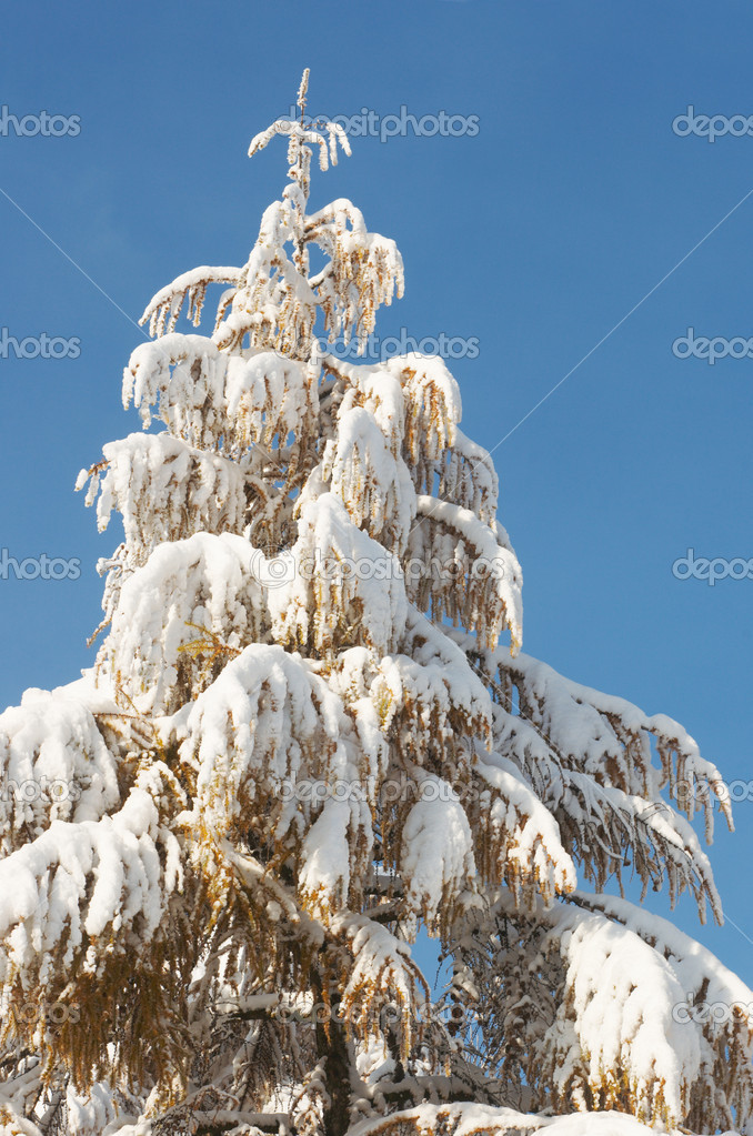 Top of winter snow covered coniferous tree on sky background — Stock Photo #8002187