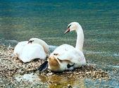 пара лебедей на озере летом — Стоковое фото