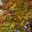 Beech foliage — Stock Photo