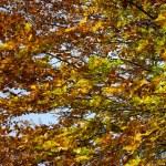 Beech foliage — Stock Photo