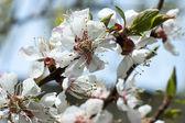 Florecimiento — Foto de Stock