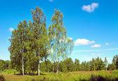 Abedules en bosque — Foto de Stock