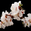 Stock Photo: Blossoming apricot