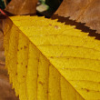 Autumn leaf (18) — Stock Photo #8098998