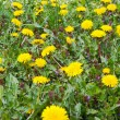 Постер, плакат: Dandelion meadow