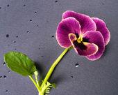 Violeta — Foto de Stock