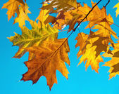 Oak foliage — Stock Photo