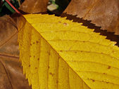 Autumn leaf (18) — Stock Photo