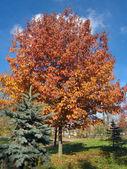 Autumn ouk — Stock Photo