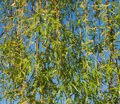 Pussy-willow background — Stock Photo