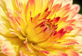 Red-yellow flower — Stock Photo