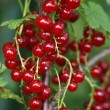Red currant — Stock Photo #8123300