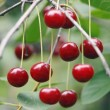 Cherries — Stock Photo #8123309