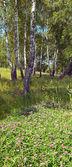 白樺の森で — ストック写真