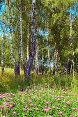 Břízy v lese — Stock fotografie