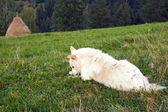 Dog on mountain meadow — Stock Photo