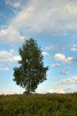 Samotna brzoza — Zdjęcie stockowe