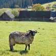 Sheep in mountain — Stock Photo #8130352