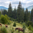 Horses on mountainside. — Stock Photo