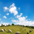 Sheep herd on mountain — Stock Photo