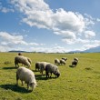 Sheep in mountain — Stock Photo #8134670