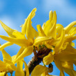 Yellow flowers (Forsythia) — Stock Photo