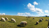 Sheep herd on plateau — Stock Photo