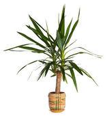House palm (yucca) — Stock Photo