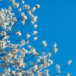 Blossoming cherry-tree twig — Stock Photo #8140006
