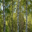 Birches in forest — Stock Photo