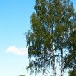 Birches — Stock Photo #8141024