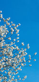 Blossoming cherry-tree twig — Stock Photo