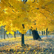 Autumn maple trees in  park — Stockfoto