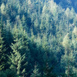 Summer mountain fir in sun rays landscape — Stock Photo