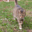 Cat walking — Photo