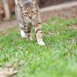 Cat walking — Stock Photo