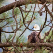 Bald Eagle watching - Stock Photo