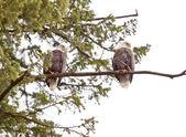 Bald Eagles Eating — Stock Photo