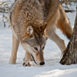 Stock Photo: Wolf in snow