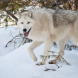 Stock Photo: Female Wolf