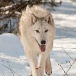 Large wolf walking — Stock Photo