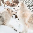 Stock Photo: Wolves in snow
