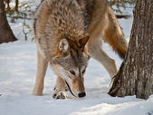 Wolf in snow — Stock Photo