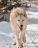 Large wolf walking — Stock Photo